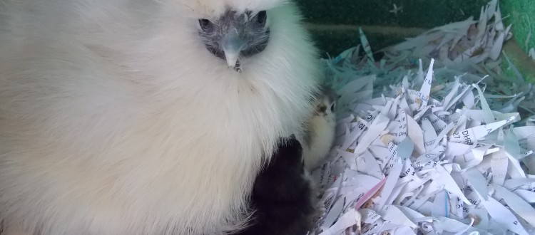 Easter chicks, Easter hens, Easter chickens, Easter eggs, Easter poultry, hens, chicks, POL, growers, bantams, hybrid hens, ducks, geese, goose, duck, Tatsfield, Surrey, Kent